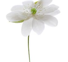 White Hepatica Flower by Alyson Fennell
