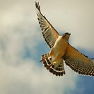 hawk in flight by paintin4him