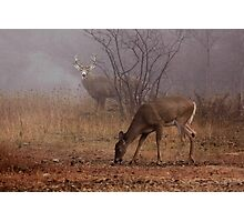 Buck eyes doe - White-tailed Deer Photographic Print
