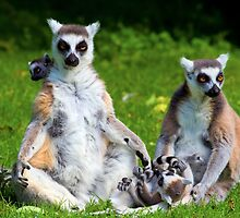 Lemur Catta Family by Artur Bogacki