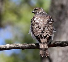 Coopers Hawk by Jim Cumming