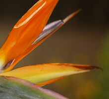Bird Of Paradise by Deborah  Benoit