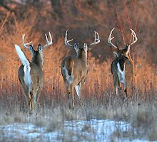 Three White-tails Walking Into the Sunset by hard-rain