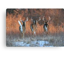 Three White-tails Walking Into the Sunset Canvas Print