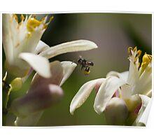 Australian Stingless Native Honey Bee - Cairns - Queensland - Australia Poster