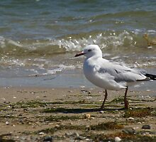 walking seagull by becky89