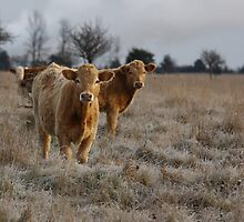 Cows by Jim Cumming