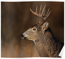 Focus...focus - White-tailed Deer Poster