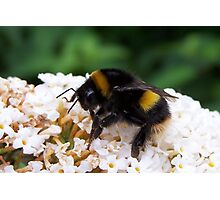 Bee 1 Photographic Print
