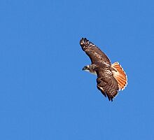 Red Tailed Hawk Majestic Beauty by lloydsjourney