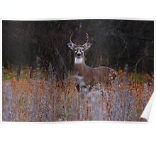 A regal stance - White-tailed Deer Poster