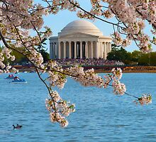 Cherry Blossoms at the Jefferson by Jane Brack