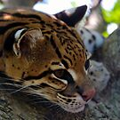 OCELOT by Stephen Beattie