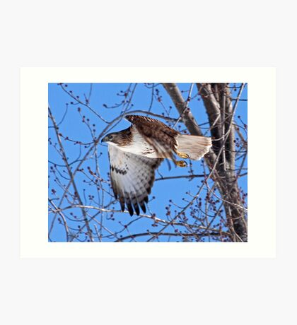Red Tailed Hawk off he goes...... Art Print