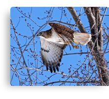 Red Tailed Hawk off he goes...... Canvas Print