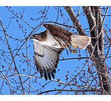 Red Tailed Hawk off he goes...... Photographic Print