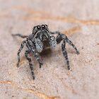 Tiny Jumping Spider by Andrew Trevor-Jones
