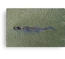 American Alligator - Swimming Canvas Print
