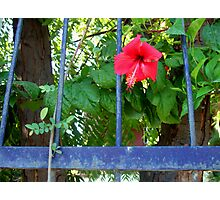 Red hibiscus, blue fence Photographic Print