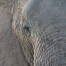 Elephant portrait by David Clarke