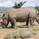 Two-headed white rhino by David Clarke