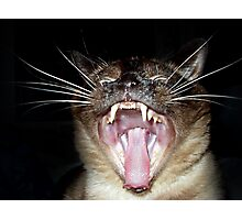 Attack of the Psycho Siamese Photographic Print