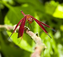 Red Dragon Fly by Watzmann71