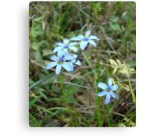 Blue-eyed Grass Canvas Print