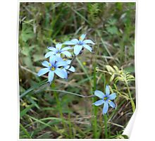 Blue-eyed Grass Poster