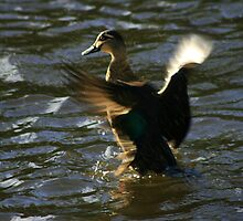 Pacific Black Duck - Yarra River, Warrandyte by Mereki