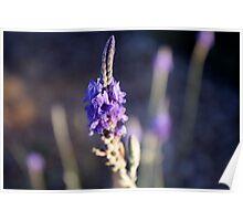 Luscious Lavender Poster