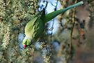 Parrot by davesphotographics