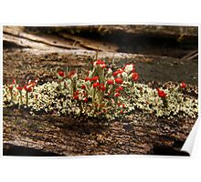 What Is It? Solved by CynLynn,  British Soliders Lichens Poster