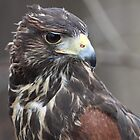 Juvenile Harris Hawk by John Wright