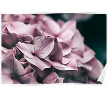 Close up of Pink Hydrangea Poster