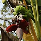 Banana Flower by Will Talley