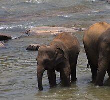 A Pair of Elephants by daytona235