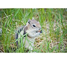 Hungry Chipmunk Photographic Print