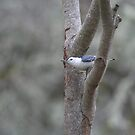 White breasted Nuthatch by SKNickel
