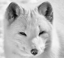 Arctic Fox by Eunice Gibb