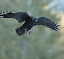 Yosemite Raven Riding the Wind by Paul J. Owen