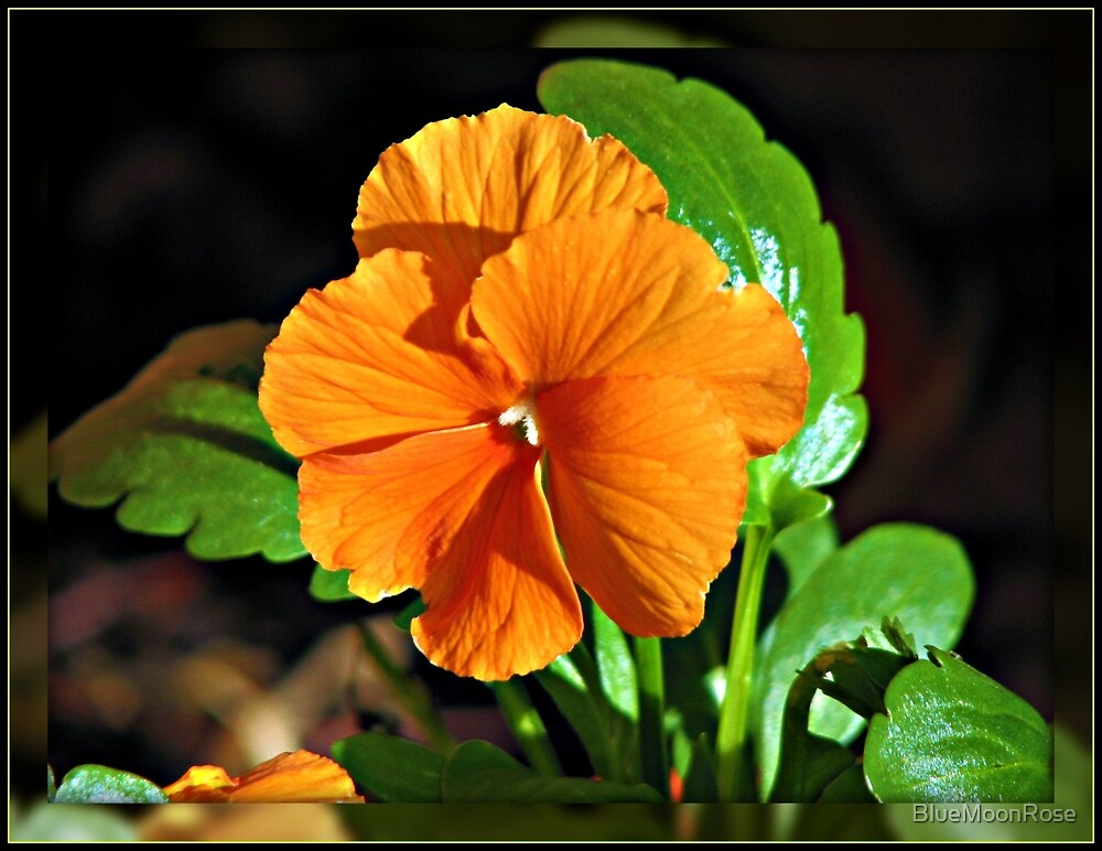 Orange Pansy in Mirrored Frame by BlueMoonRose