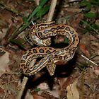 Coastal Carpet Python-Morelia spilota mcdowelli by NickBlake