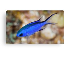 Blue Chromis Canvas Print