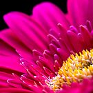 Pink Gerbera by Janine  Hewlett