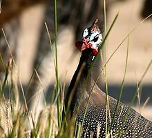 Helmeted Guineafowl by Neil Swenser