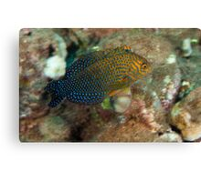 Short Nose Wrasse Canvas Print