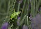 Inquisitive grasshopper by David Clarke