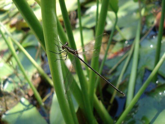 Swamp Spreadwing (Lestes vigilax) by May Lattanzio