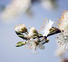 Blossom by naffarts